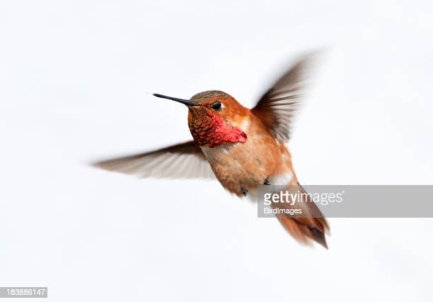 Rufous Hummingbird Male - White Background