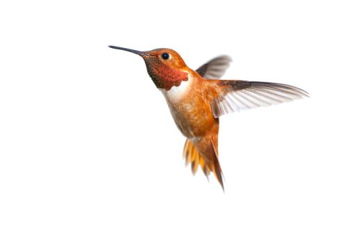 Rufous Hummingbird Male - White Background 185262775