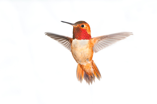 Rufous Hummingbird Male - White Background XL 182155371