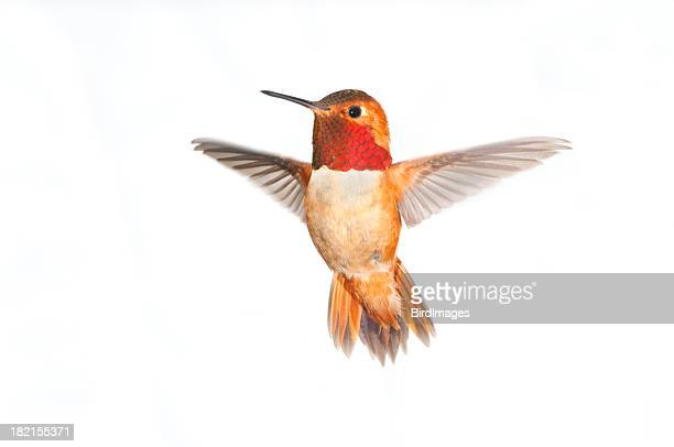 rufous hummingbird male - white background xl - bird stock photos and pictures