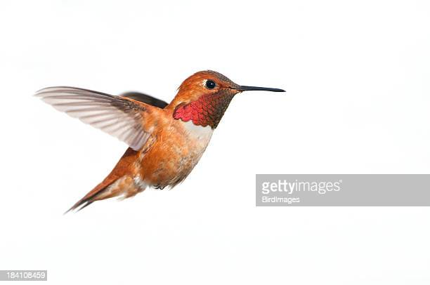 rufous hummingbird male - white background xl - bird stock pictures, royalty-free photos & images
