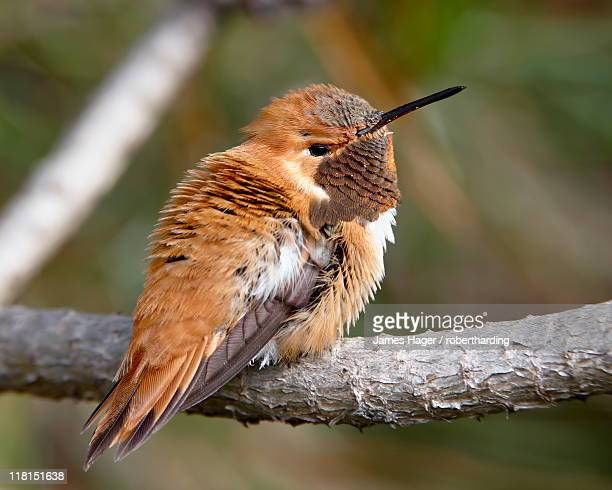 Rufous hummingbird (Selasphorus rufus), near Nanaimo, British Columbia, Canada, North America