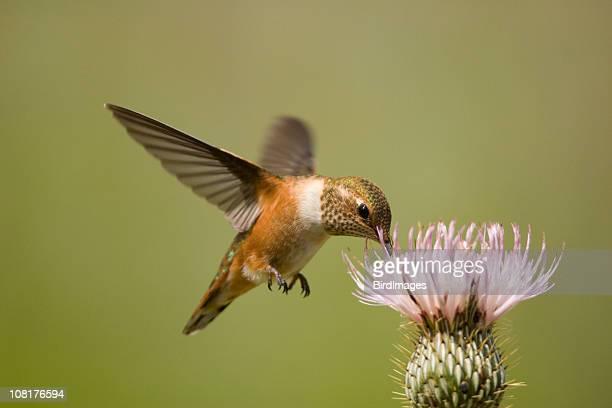 Rufous Hummingbird on Thistle Flower