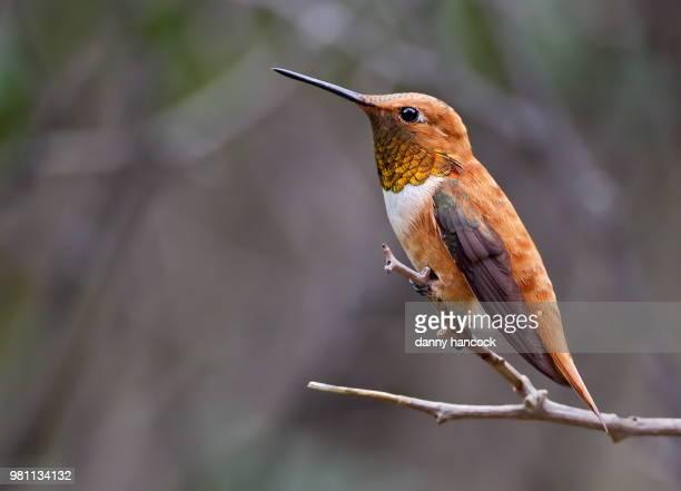 Rufous hummingbird (Selasphorus rufus) perching on branch, Bosque del Apache National Wildlife Refuge, New Mexico, USA