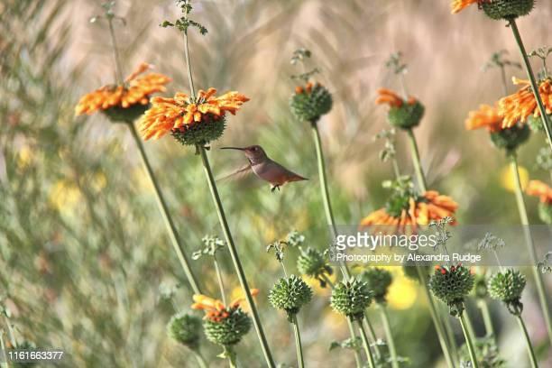 rufous hummingbird. - braunschwanzamazilie stock-fotos und bilder