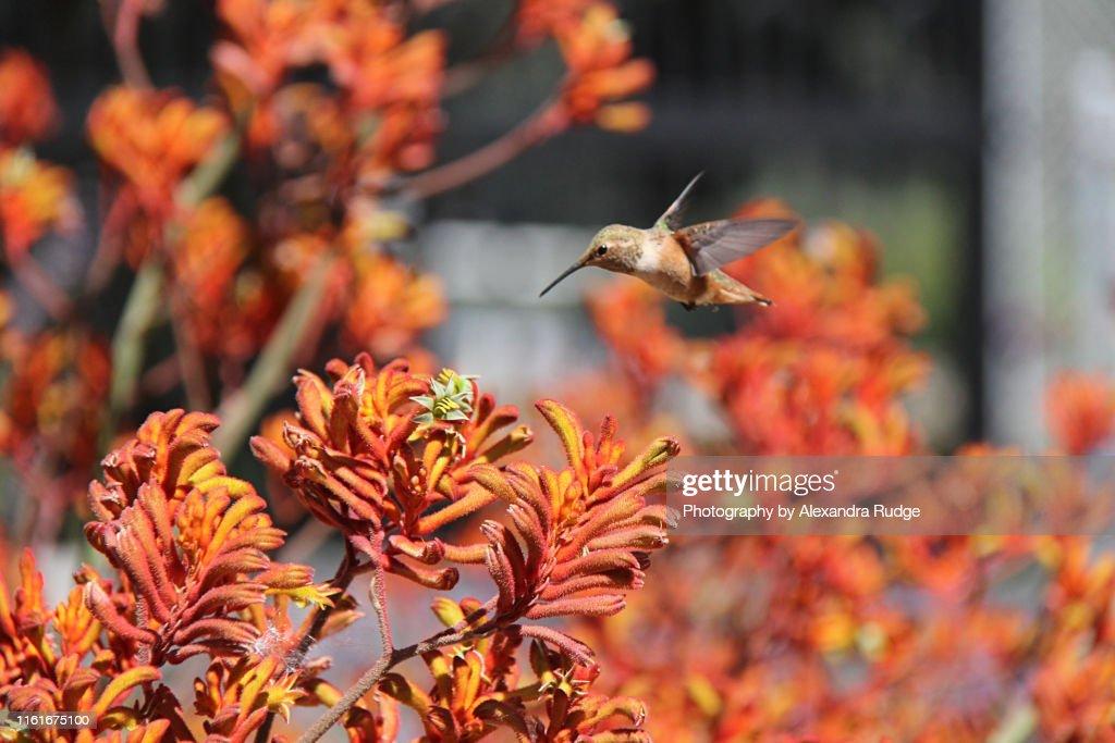 Rufous hummingbird. : Stock-Foto