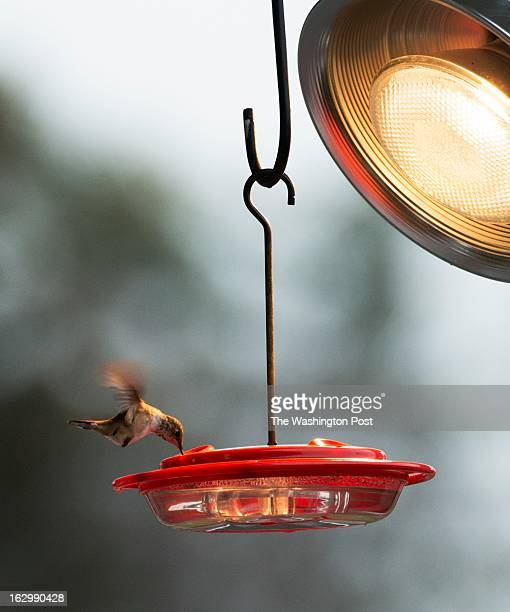 Rufous hummingbird rare to Virginia is wintering at Green Spring Gardens in Alexandria VA on February 5 2013 A feeder with a warming lamp hangs from...