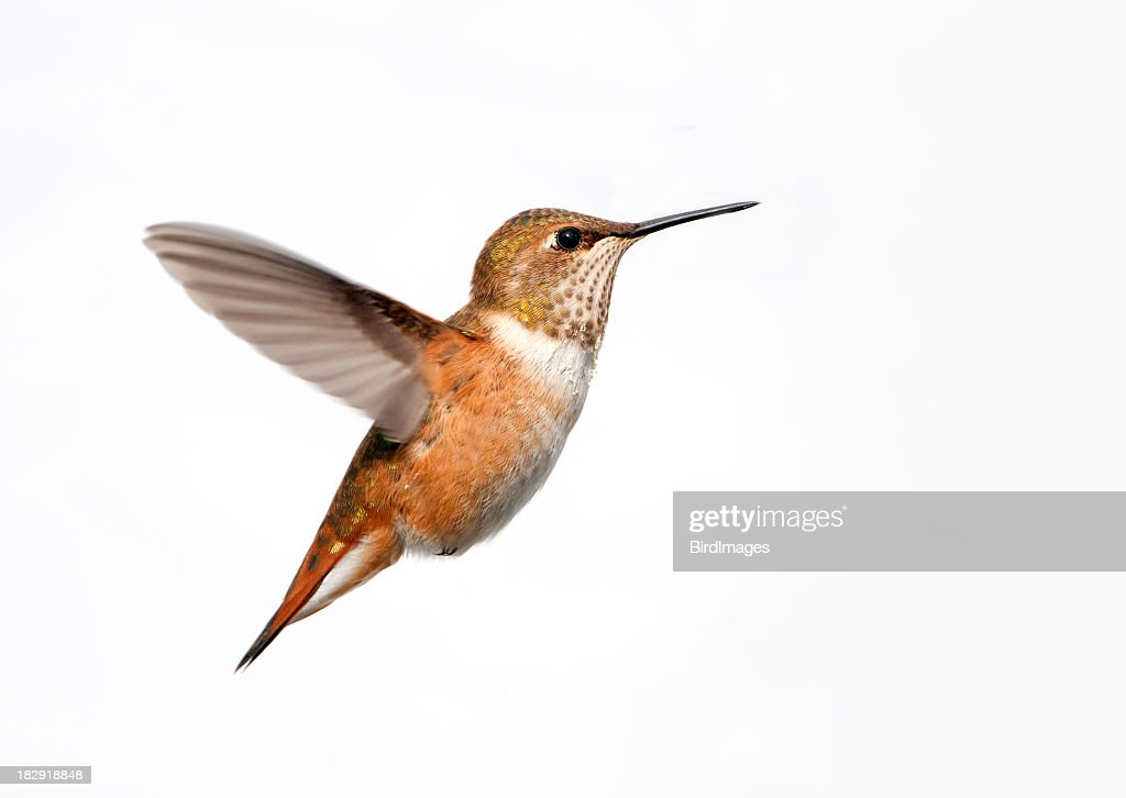 Rufous Hummingbird - White Background : Stock Photo