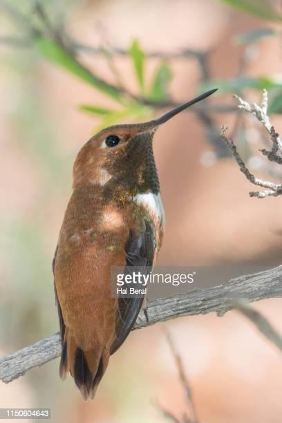 Rufous Hummngbird male