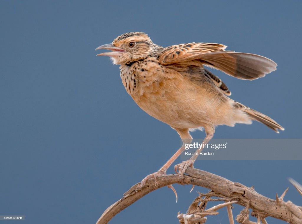 rufous napped lark : Stock-Foto
