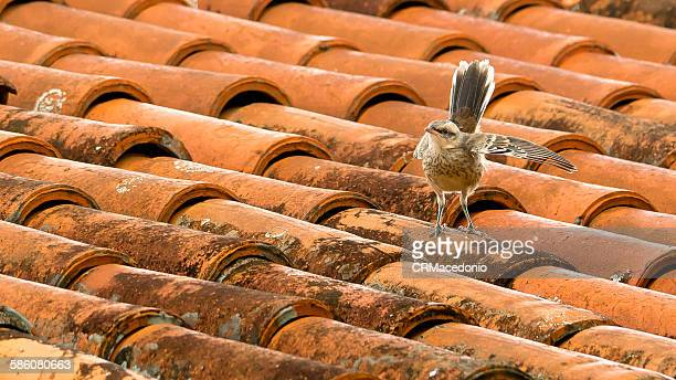 rufous-bellied thrush on the roof - crmacedonio foto e immagini stock