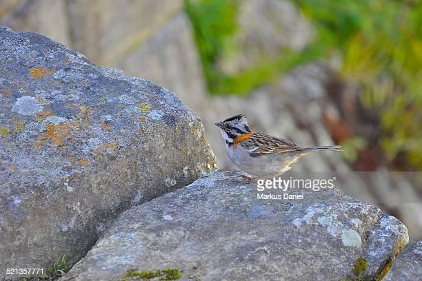 """a rufous-collared sparrow (zonotrichia capensis) - """"markus daniel"""" stock-fotos und bilder"""