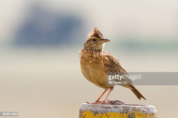 Rufousednaped Lark