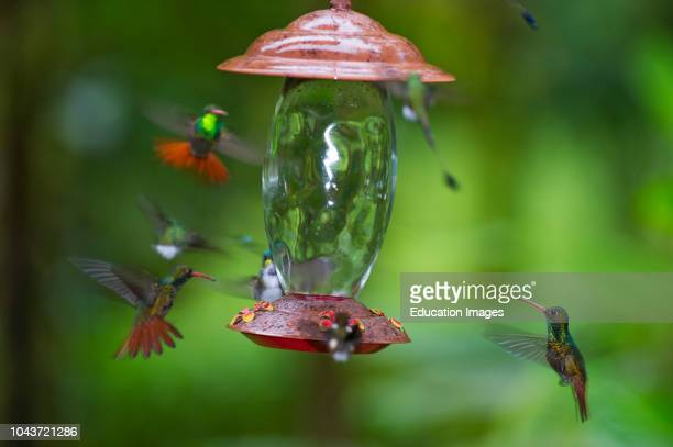 Rufoustailed Hummingbird Amazilia tzacatl at feeder Choco Ecuador