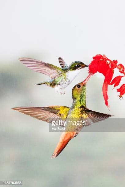 rufous-tailed hummingbird and booted rackettail hummingbird feeding on flower - braunschwanzamazilie stock-fotos und bilder