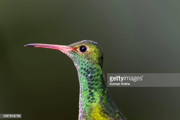 rufous-tailed hummingbird (amazilia tzacatl), animal portrait, rainforest, cloud forest, northwest ecuador, ecuador - braunschwanzamazilie stock-fotos und bilder