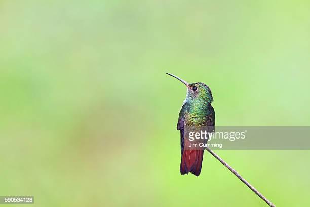 rufous-tailed hummingbird - costa rica - braunschwanzamazilie stock-fotos und bilder