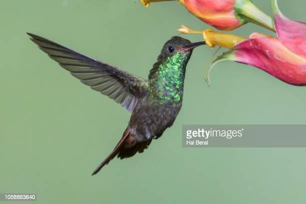 rufous-tailed hummingbird feeding on flower - braunschwanzamazilie stock-fotos und bilder