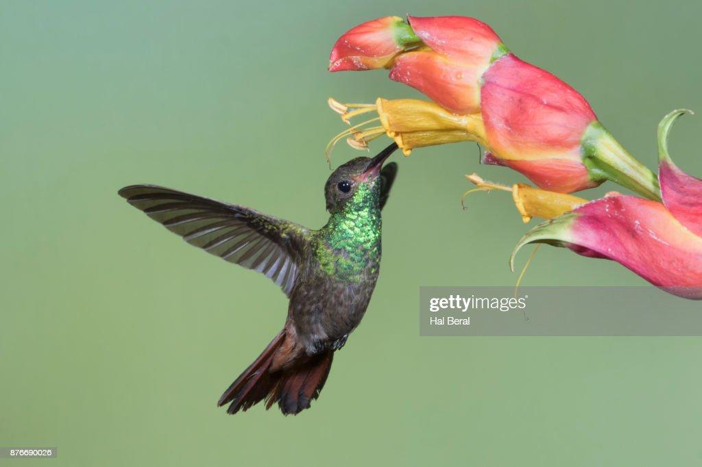 Rufous-Tailed Hummingbird feeding on flower : Stock-Foto