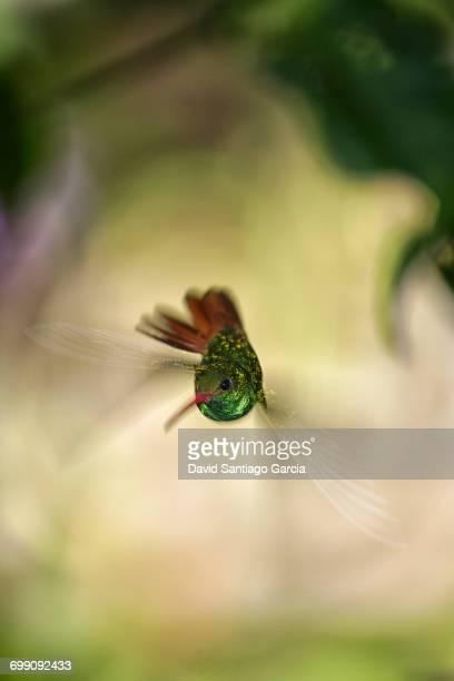 rufous-tailed hummingbird (amazilia tzacatl) feeding on nectar, ecuador - braunschwanzamazilie stock-fotos und bilder