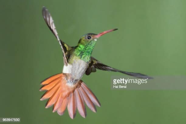 rufous-tailed hummingbird flying - braunschwanzamazilie stock-fotos und bilder