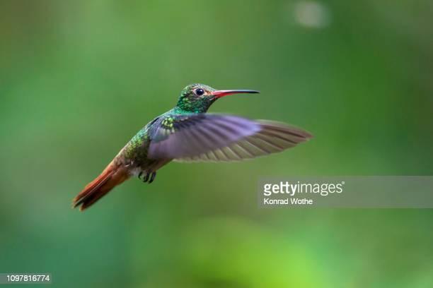 rufous-tailed hummingbird (amazilia tzacatl), flying, rainforest, cloud forest, northwest ecuador, ecuador - braunschwanzamazilie stock-fotos und bilder