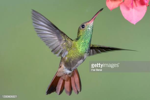 rufous-tailed hummingbird flying to flower - braunschwanzamazilie stock-fotos und bilder