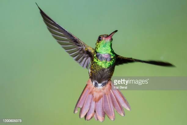 rufous-tailed hummingbird flyng - braunschwanzamazilie stock-fotos und bilder