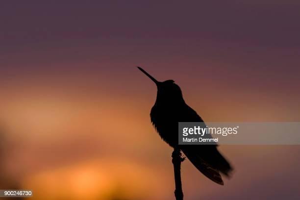 rufous-tailed hummingbird (amazilia tzacatl) in backlight, silhouette at sunset, costa rica - braunschwanzamazilie stock-fotos und bilder
