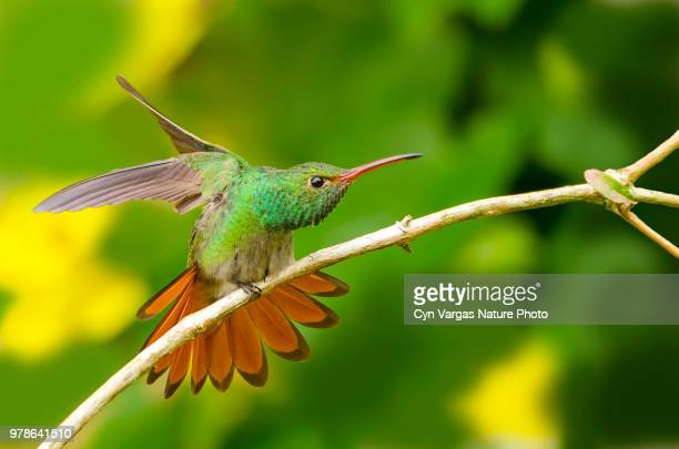rufous-tailed hummingbird (amazilia tzacatl) on branch, costa rica - braunschwanzamazilie stock-fotos und bilder