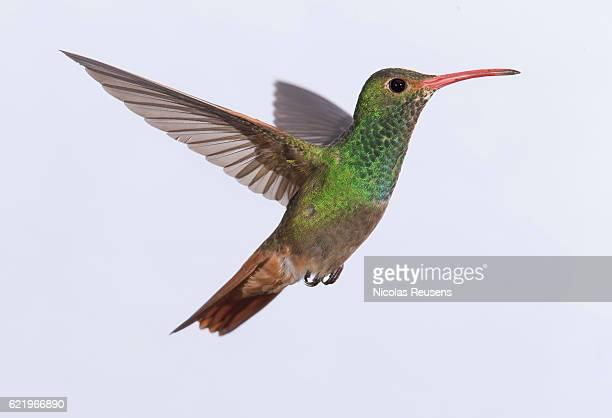 rufous-tailed hummingbird (amazilia tzacatl) - braunschwanzamazilie stock-fotos und bilder