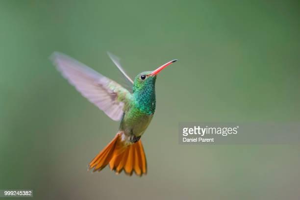 rufous-tailed hummingbird - braunschwanzamazilie stock-fotos und bilder