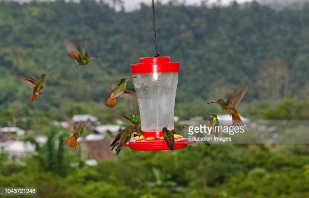 Rufoustailed Hummingbirds Amazilia tzacatl swarming around feeder on balcony Mindo Ecuador