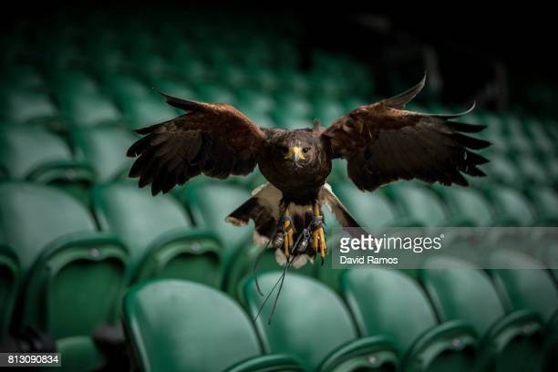 Rufus a Harris hawk flies over the stands of Centre Court ahead of day nine of the Wimbledon Lawn Tennis Championships at the All England Lawn Tennis...