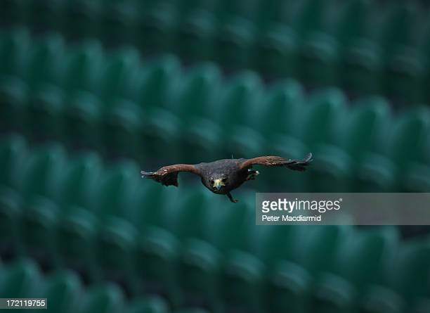 Rufus a Harris hawk flies over the stands of Centre Court at the Wimbledon Lawn Tennis Championships on July 2 2013 in London England Rufus is used...