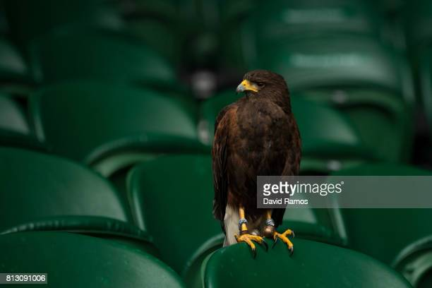 Rufus a Harris hawk sit on a seat on Centre Court ahead of day nine of the Wimbledon Lawn Tennis Championships at the All England Lawn Tennis and...