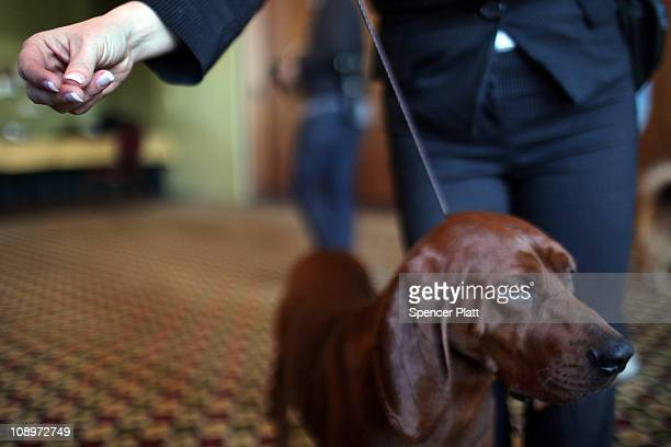 Rufus a redbone coonhound stands with his owner at a news conference for the 13th annual Westminster Kennel Club Dog Show on February 10 2011 in New...