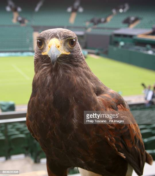 Rufus the 6 year old Harris Hawk who scares away pigeons away from centre court during day one of the Wimbledon Championships at the All England Lawn...