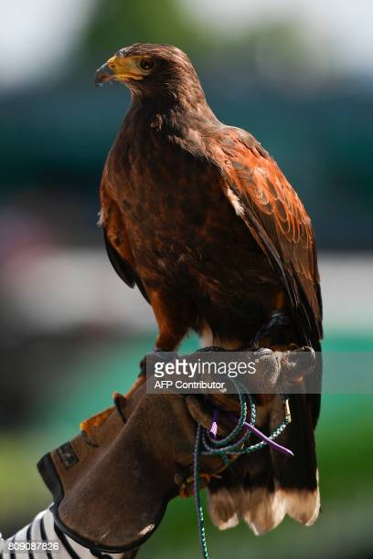 Rufus the Harris hawk is held by handler Imogen Davies as she is interviewed by the media at The All England Lawn Tennis Club in Wimbledon southwest...