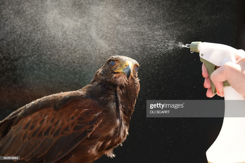 TOPSHOT - Rufus the Harris hawk is sprayed with water by handler Imogen Davies as she is interviewed by the media at The All England Lawn Tennis Club in Wimbledon, southwest London, on July 6, 2018. - Rufus the Hawk is used at the All England Club to keep pigeons away from the venue. (Photo by Oli SCARFF / AFP) / RESTRICTED
