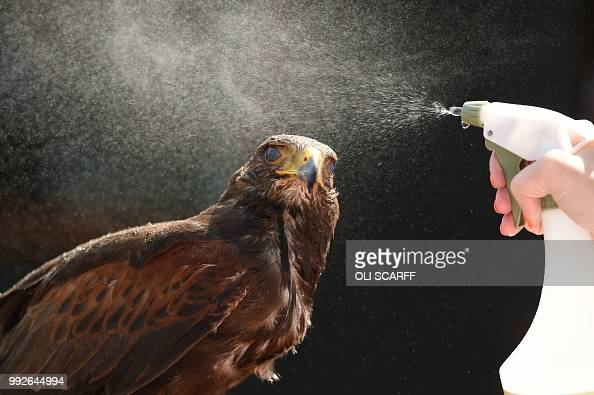 TOPSHOT Rufus the Harris hawk is sprayed with water by handler Imogen Davies as she is interviewed by the media at The All England Lawn Tennis Club...