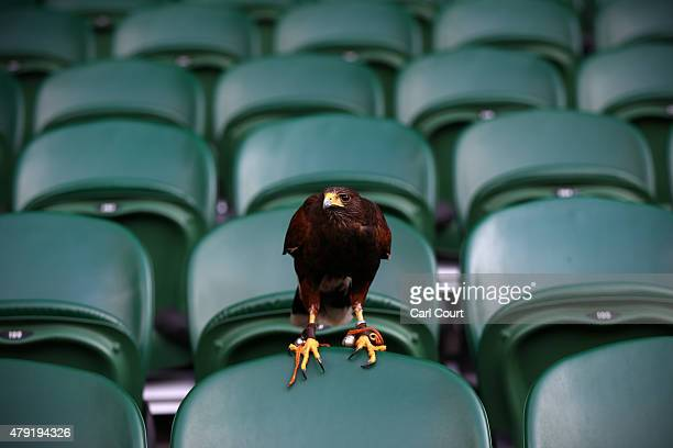 Rufus the Harris Hawk sits on a seat on centre court where it is used to scare away pigeons ahead of play on day four of the Wimbledon Lawn Tennis...
