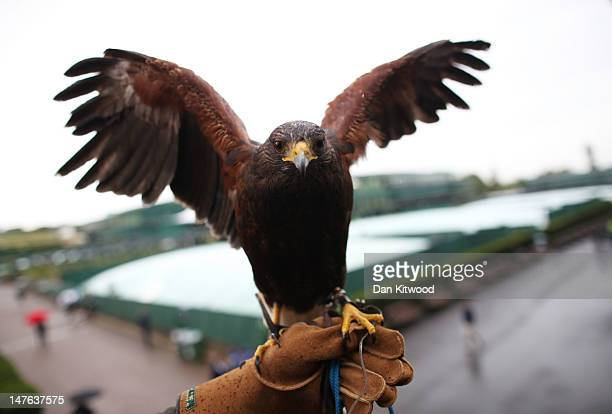 Rufus the Hawk poses for a photograph on day seven of the Wimbledon Lawn Tennis Championships at the All England Lawn Tennis and Croquet Club on July...