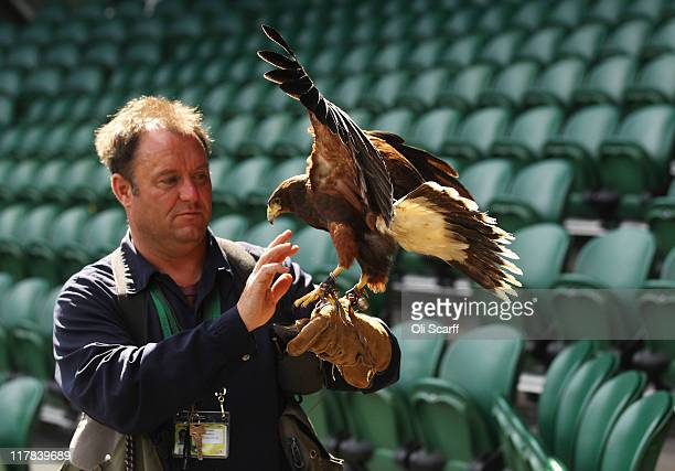 Rufus the resident Harris Hawk and his handler keep Centre Court pigeon free on Day Eleven of the Wimbledon Lawn Tennis Championships at the All...