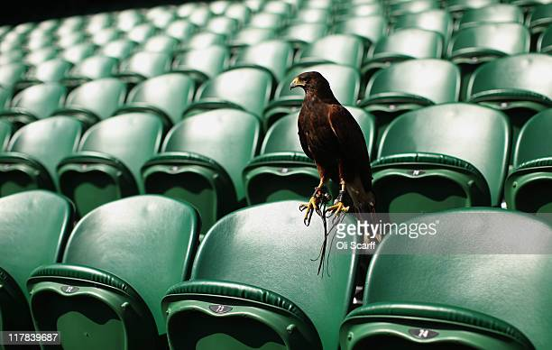 Rufus the resident Harris Hawk keeps Centre Court pigeon free on Day Eleven of the Wimbledon Lawn Tennis Championships at the All England Lawn Tennis...