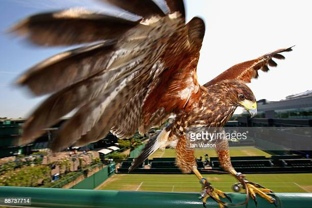 Rufus the resident Harris Hawk keeps the courts pigeon free on Day Seven of the Wimbledon Lawn Tennis Championships at the All England Lawn Tennis...