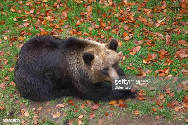 Ruhender Braunbär captive Niedersachsen Deutschland