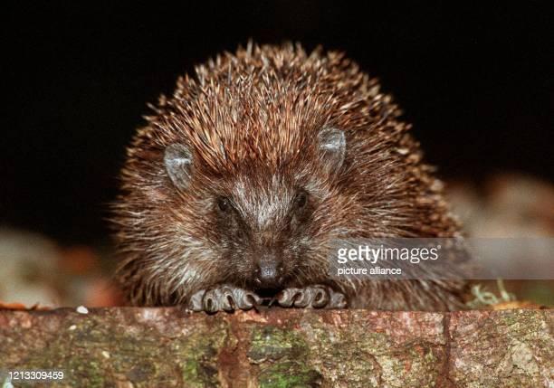Ruhig sitzt der Igel auf dem Baumstamm und wartet auf Beute Seine Lieblingsspeise sind junge Mäuse und Regenwürmer Aber auch Obst und frische Blätter...