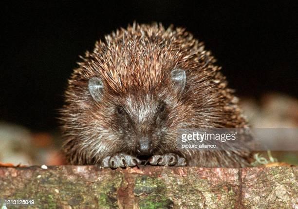 Ruhig sitzt der Igel auf einem Baumstamm und wartet auf Beute. Seine Lieblingsspeise sind junge Mäuse und Regenwürmer. Aber auch Obst und frische...