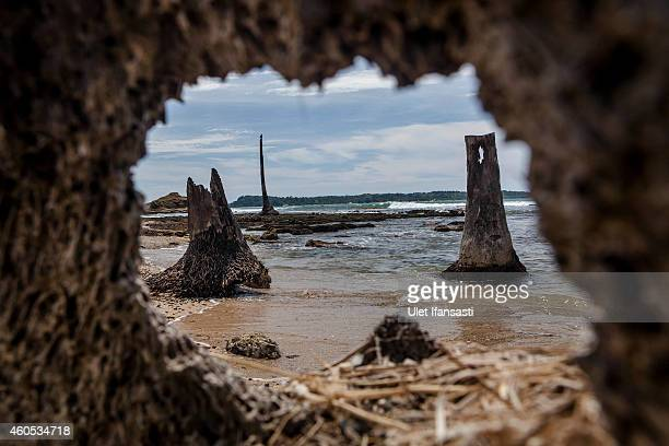 Ruins of the coconut trees that was hit by the tsunami is seen at the beach on December 14 2014 in Banda Aceh Indonesia Aceh was the worst hit...